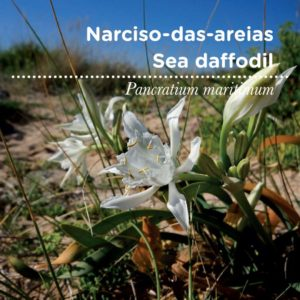 sementes_pt_tags_34_narciso